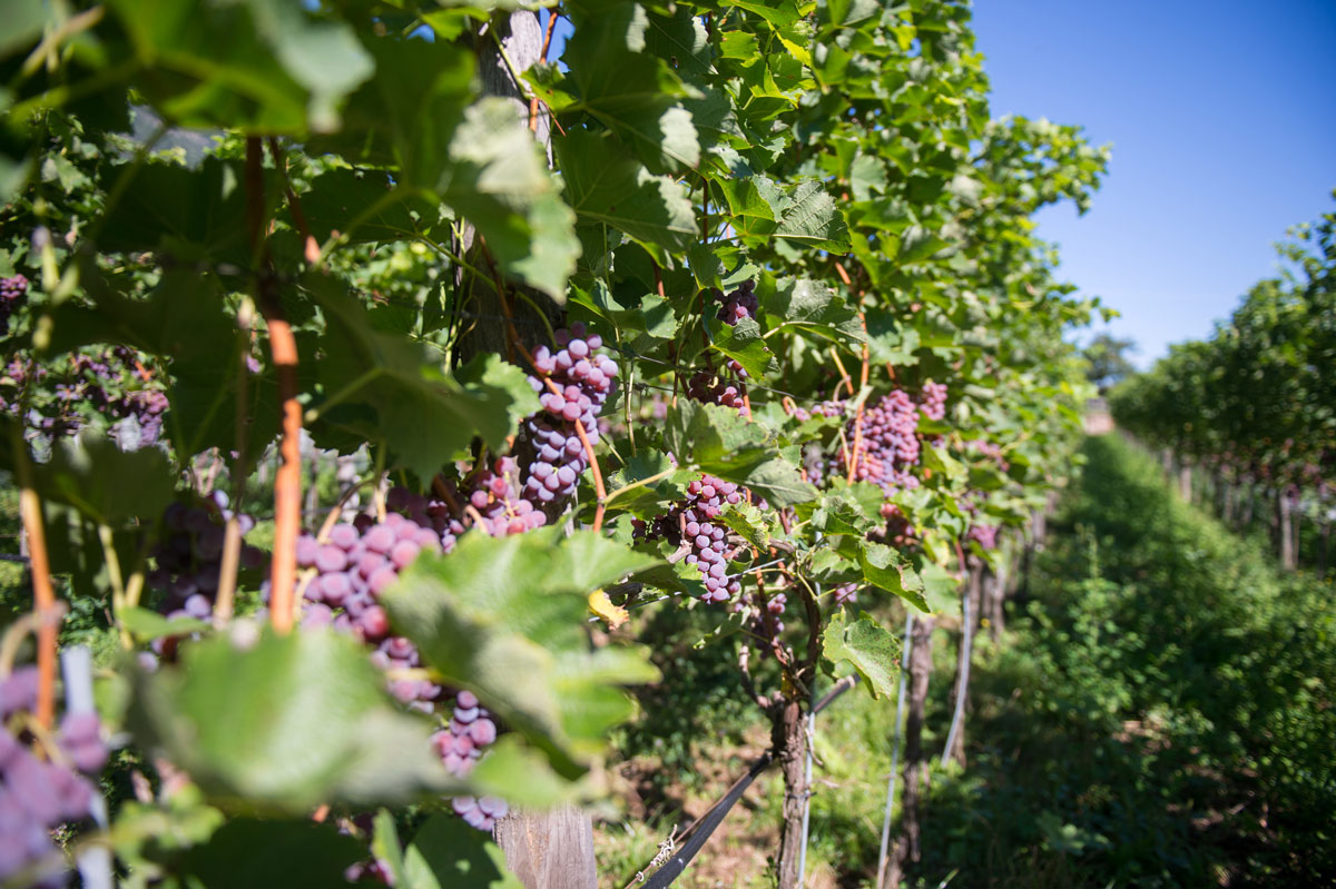Grapes T.N.06 Abendrot